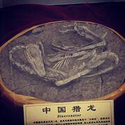 Sinovenator fossil 02.jpg