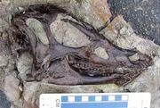Thescelosaurus neglectus skull.jpg