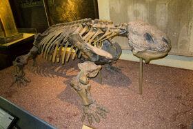 Bradysaurus baini, скелет