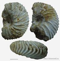 Лонгевицерас фрагмокон