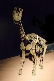 800px-Europasaurus holgeri Skelett.jpg