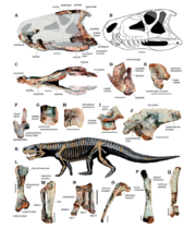 800px-Dynamosuchus material.png