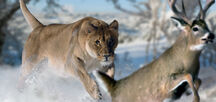 American lion by philip72-d7atwch