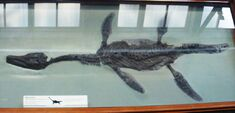 Fossil of Archaeonectrus, Natural History Museum, London
