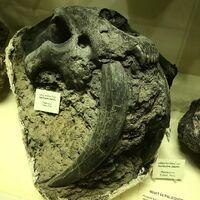 Смилодон череп