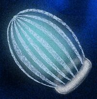 Ctenorhabdotus capulus.jpg