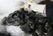 Scelidosaurus skull.jpg