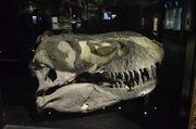 Tyrannosaurus Black beauty skull.jpg
