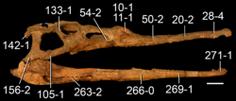 250px-Parasuchus hislopi skull.png