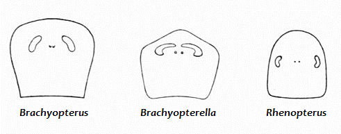 Брахиоптерелла