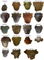 Ankilosaurud skull.png