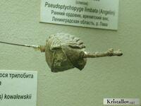 Неоазафус Ковалевского 2