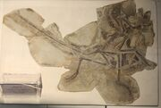 Anchiornis fossil.jpg