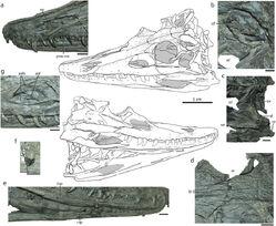 Diandongosuchus skull.jpg