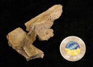 Dinosaur-skull-fragment albertavenator