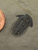 Zacanthoides marshalli