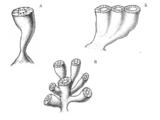 Правильные археоциаты