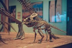 Протоцератопс детёныш