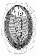 Ogygiocarella debuchii от Ллуайда