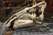 Protohadros skull.jpg