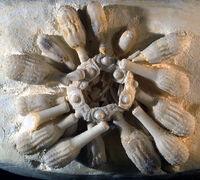 Tylocidaris (Tylocidaris) clavigera