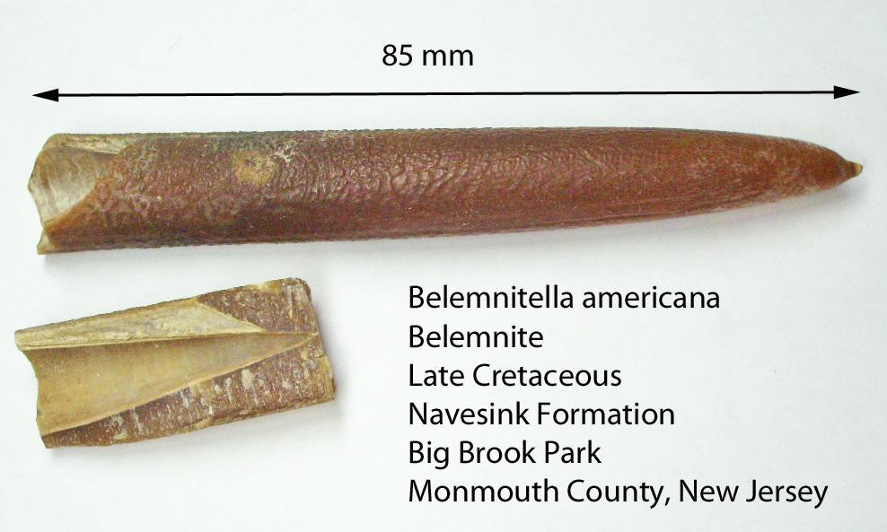 Белемнителла