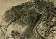 Chasmosaurus skin impression.jpg