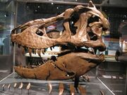 Tyrannosaurus Samson.jpg