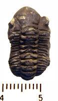 Dalmanites phillipsi