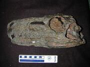 Herrerasaurus skull.jpg