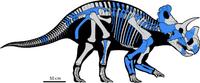 Wendiceratops skeletal reconstruction