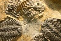 Selenopeltis buchi trilobites