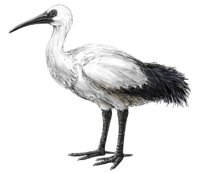 Threskiornis solitarius