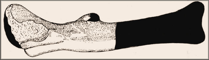 Illustration of Loncosaurus Holotype Leg Bone (femur).jpg