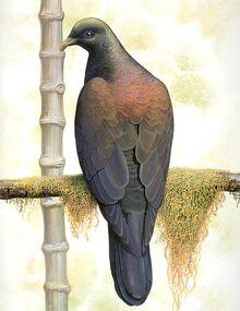 Бонинский голубь 2.jpg