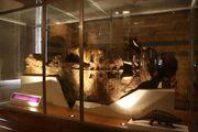 Scolosaurus NHMUK R5161.jpg