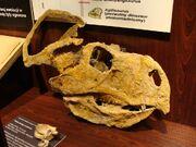 Protoceratops skull.jpg