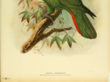 Мартиникский амазон