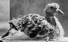 Файл Young passenger pigeon.jpg