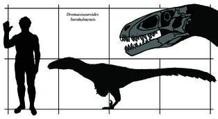 Dromaeosauroides size.jpg