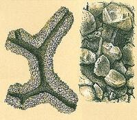 Astrorhiza arenaria