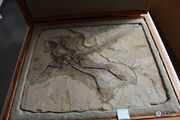 Anchiornis fossil 03.jpg