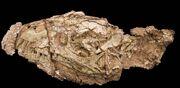 Daemonosaurus skull.jpg