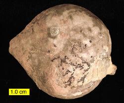 Echinosphaerites aurantium.jpg
