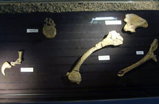 1024px-Unenlagia fossils.jpg