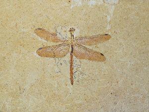 Cordulagomphus