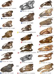 Edmontosaurus specimen.png