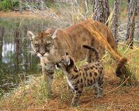 416px-Puma and cub