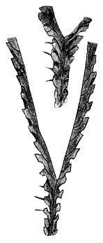 Dicranograptus.jpg