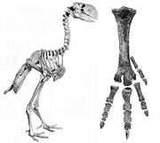 Diatryma-skeleton-and-foot-bones-amnh-6169.jpg